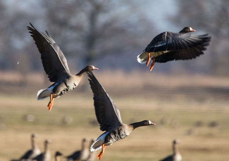 Greater white-fronted geese (Anser albifrons), Lewitz (Mecklenburg, Germany) Nature Photography Eyeem Birdphotography Bird Photography EyeEm Nature Lover Anser Albifrons Greater White-fronted Goose White-fronted Goose Geese Photography Geese Geese In Flight Migration Birds Motion Nature Spread Wings Group Of Animals Animal Bird Flying Animals In The Wild Animal Themes Animal Wildlife