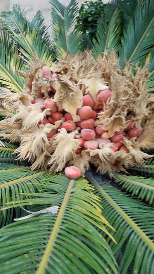 Palm pods