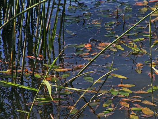 Aquatic Plants Close-up Floating On Water Kis Balaton Lake Leaf Nature No People Outdoors Plant Reflection Water