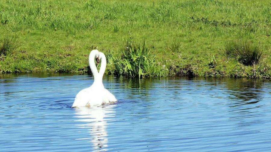 Swans Inlove