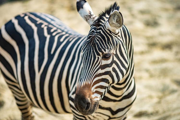 Animal Themes Animal Wildlife Animals In The Wild Animal Zebra Striped Mammal Vertebrate One Animal Safari Animal Markings Focus On Foreground No People Natural Pattern Day Close-up Nature Outdoors Herbivorous Animal Head