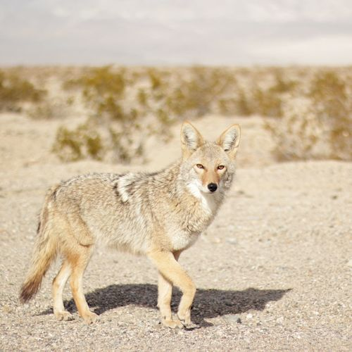 Portrait Of Coyote In Death Valley National Park
