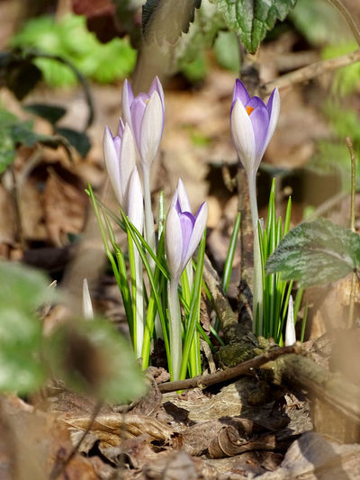 Spring is coming Beauty In Nature Nature Flower Collection Springtime Spring Spring Flowers Crocus Flower Head Flower Petal Purple Close-up Plant Flowering Plant Plant Life Flora