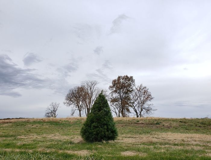 Lone pine in a field. Belleville Illinois MidWest Illinois christmas tree Pine Tree Fir Tree Field Tranquility Fall Foliage Autumn Spruce Tree Tree Pixelated Sky Grass Cloud - Sky Farmland Grass Area Autumn Collection Growing