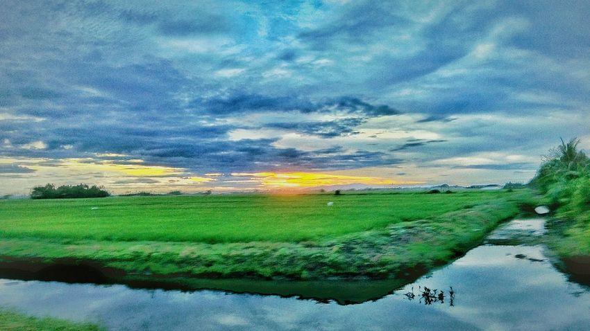 Agriculture rice Field At Alor Setar Malaysia Sunrise