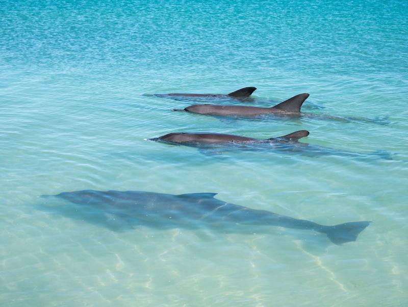 Dolphins Family Animal Fin Animal Wildlife Beach Monkey Mia Sea Life Water