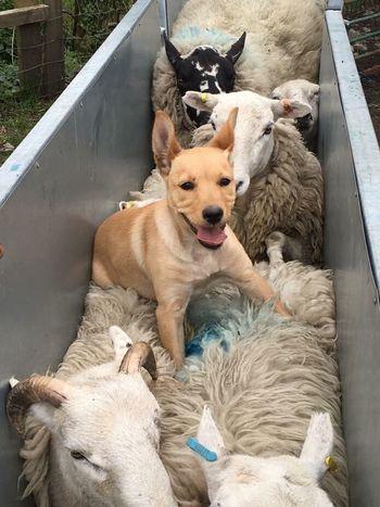 Animal Themes Dog Looking At Camera Outdoors Sheepdog Australiankelpie