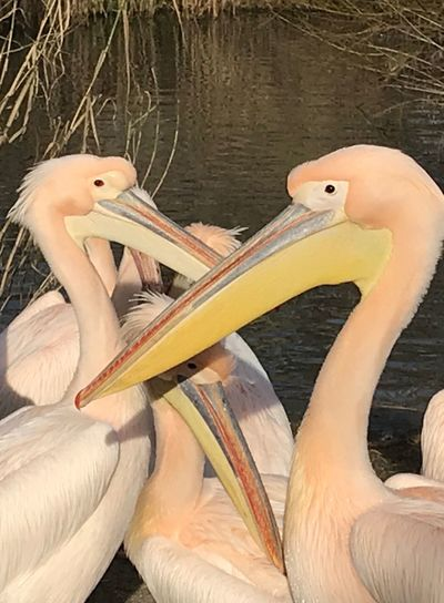 Pelicans in Love Bird Animal Wildlife Beak Day Pelican Animal Themes Outdoors Close-up No People