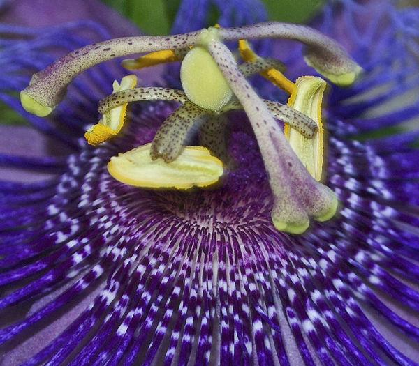 Blue Butterflies Love Them Climbing Vines Close-up Ladies Do To! Natural Pattern Passiflora Incarnata Purple