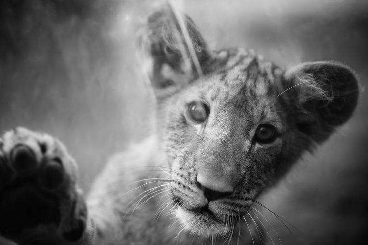 Close-up portrait of a lion cub