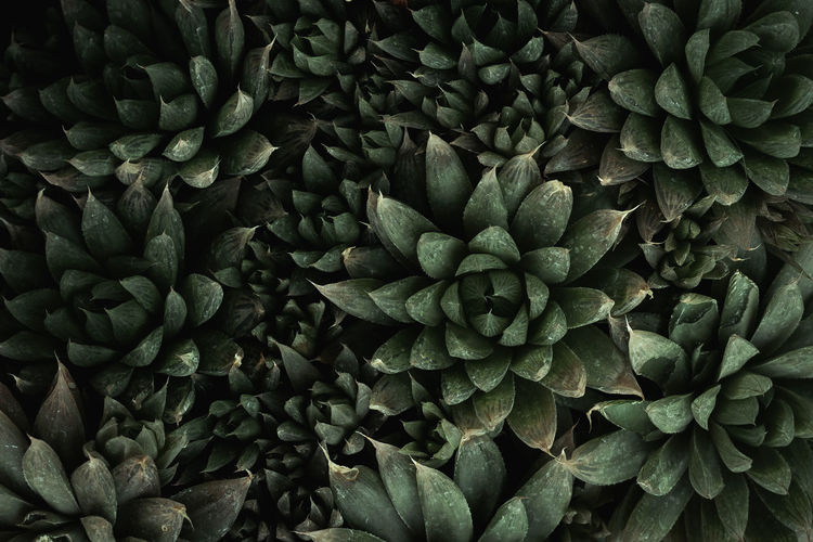 Cactus plant texture on top view Cactus Green Shape Backgrounds Beauty In Nature Cactus Collection Cactusporn Close-up Flat Lay Foliage Green Cactus Green Color Growth Haworthia Natural Pattern Pattern Plant Succulent Plant Texture Top View