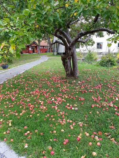 Lots and lots of apples Apple Lots Of Apples Tree Grass Plant Green Color