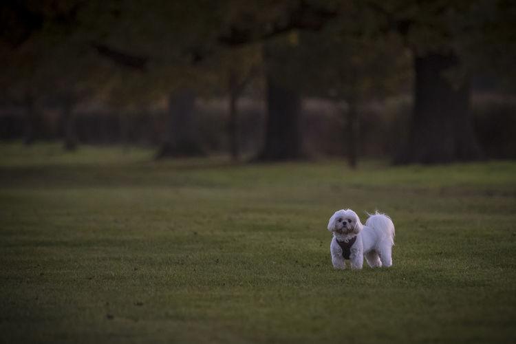 Puppy, Dog, Pet, Animal, Cute, Shih Tzu Walk Animal Themes Day Dog Domestic Animals Grass Mammal No People One Animal Outdoors Pets