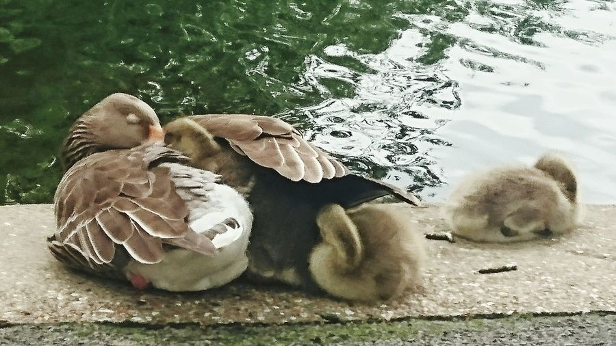 So cute Babylove Baby Geese Goslings Baby Animals Motherslove Sleepyhead Chilling Out Saturday Stroll Underyourwings Safety Zone Cute♡ So Cute!!!Comfy And Cozy