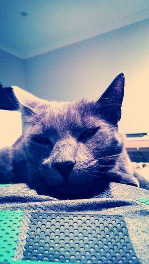Nicholasa my lovable Russian Blue Cat! Catstagram Catlover Cute Cats Aristocats