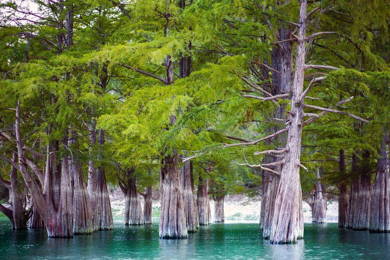 кипарис Tree Water Forest Nature Green Color кипарисы Cypress Cypress Trees  First Eyeem Photo
