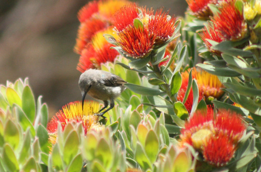 Proteas Protea Flowers Plants Botany Garden Kirstenbosch South Africa Bird Red Outdoor Wildlife