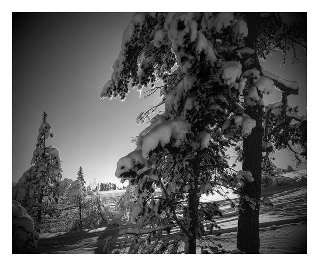 Winter in Vrådal. Sunny and snowy 😁 Tree Sky No People Outdoors Close-up Day Nature Winter Beauty In Nature Snow HuaweiP9 Majestic Sunbeam Sunny Sun Telemark Vrådal