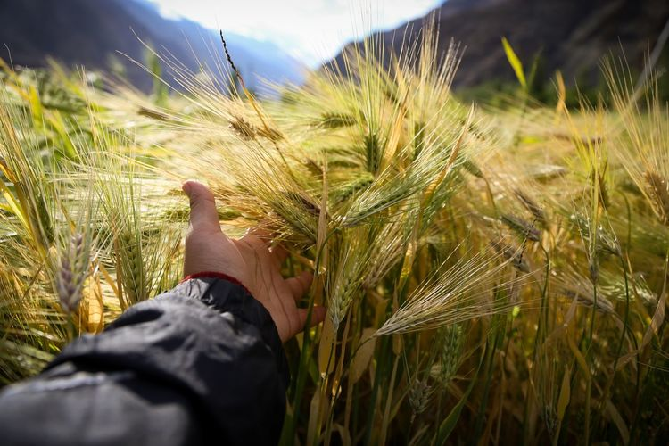 Grazing by the fields Turtuk Village Travel Standtall Bedifferent Wanderlust Seeking Longing Ladakh Ladakhdiaries Perspective Nature EyeEm Selects Human Hand Wheat Cereal Plant Rural Scene Agriculture Sunset Field Rye - Grain Personal Perspective Sky Ear Of Wheat Farmland Grain