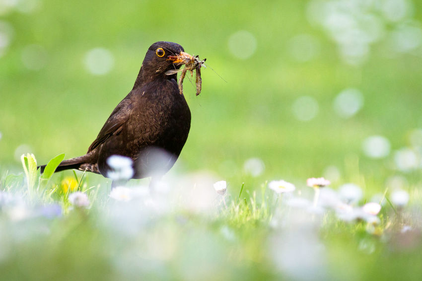 Blackbird Animal Themes Animals In The Wild Bird Bird Photography Blackbird Day Earthworm Earthworms Green Color Nature On The Ground Worm Worms