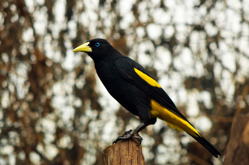 A yellow rumped cacique standing on a post. Animal Themes Beauty In Nature Bird Birds Black Color Cacique Close-up Colombia Day Focus On Foreground Nature No People Outdoors Perching Selective Focus South America Wildlife Yellow Yellow Rumped Cacique First Eyeem Photo