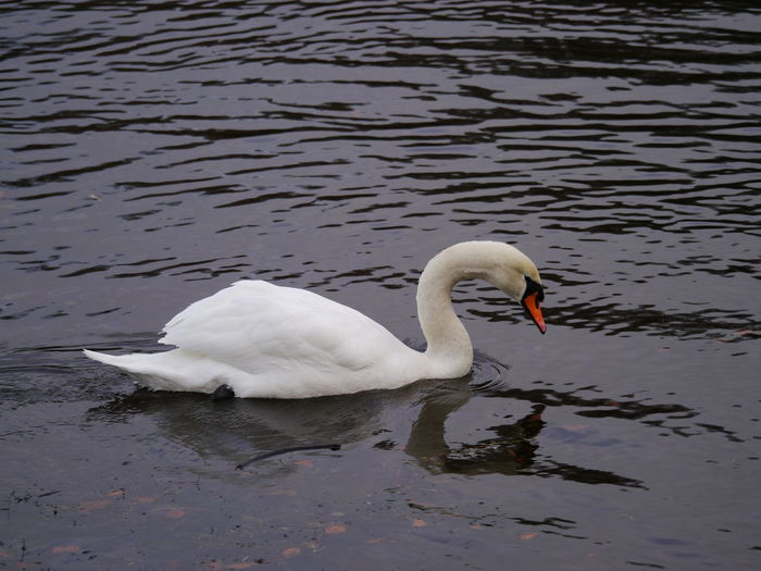 Animal Themes Animal Wildlife Animals In The Wild Beak Beauty In Nature Bird Close-up Day December December 2016 Fountains Abbey Fountains Abbey Yorkshire Fountains Abbey, Yorkshire Lake Nature No People One Animal Outdoors Reflection Swan Swimming Water Water Bird White Color