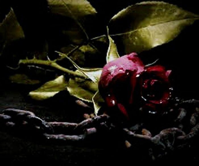 roterose mit eisenkette Rosé Blumen