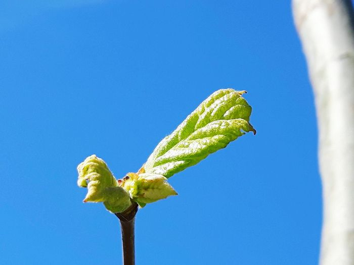 leaves against clear blue sky Leaves Clear Blue Perching Sky Close-up Green Color