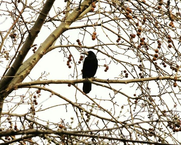 Bare Tree Bird Day Outdoors Nature Tree Still Life Istanbul Animal Tree Chough