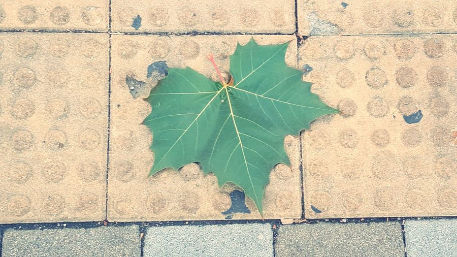 Sensitive Leaf Close-up Architecture LINE Roadways Ivy Textured  Leaf Vein