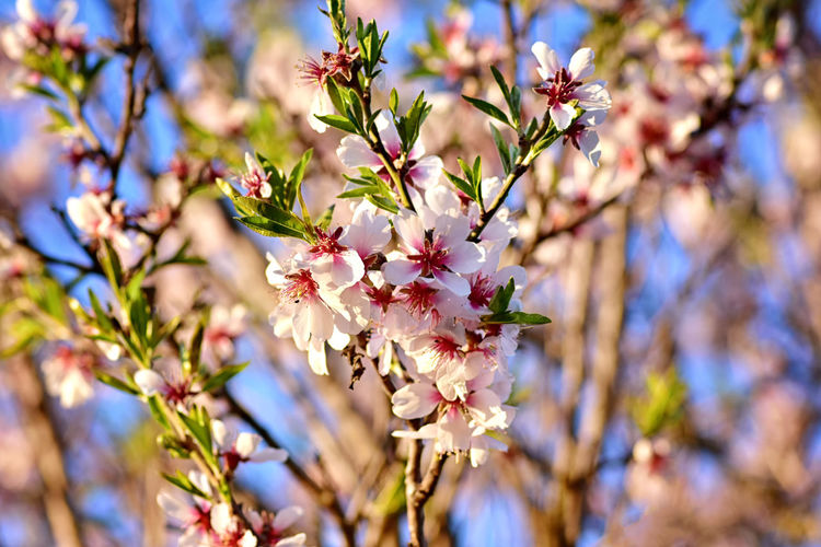 Flower Flowering Plant Plant Fragility Vulnerability  Growth Freshness Beauty In Nature Blossom Springtime Branch No People Petal Focus On Foreground Botany Flower Head Cherry Blossom Cherry Tree Spring Twig Tree
