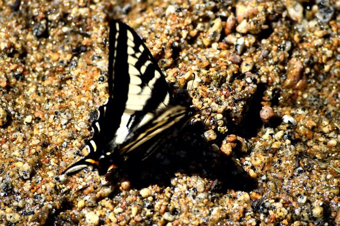 Butterfly in the sand at Lake Tahoe Beauty In Nature Butterfly Butterfly Collection Insect Photography Lake Tahoe Natural Pattern Nature Nikon Nikonphotography Original Experiences Sand Selective Focus Sunny Day Wildlife