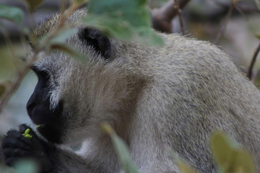 Africa Animal Animal Hair Animal Head  Animal Nose Animal Themes Close-up Forest Mammal Monkey Monkey Eating Monkey Face No People One Animal Outdoors Primate Selective Focus Side View Snout Tanzania Tumbili Velvet Monkey Vervet Monkey Zoology