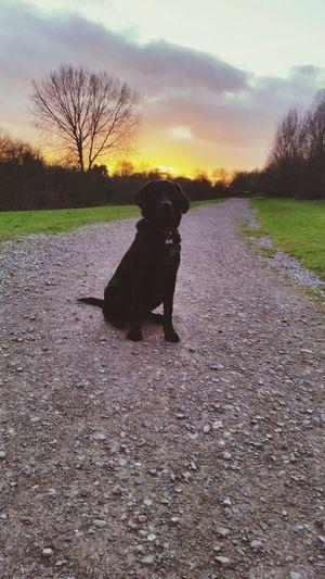Black Lab Labrador Puppy Henson Walkies