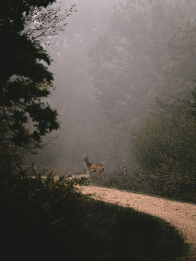 Deer on a forest track Mammal Animal Themes Animal One Animal Tree Plant Nature Domestic Animals Land Animal Wildlife Vertebrate Animals In The Wild Day No People Pets Domestic Fog Landscape Field Environment Outdoors Herbivorous