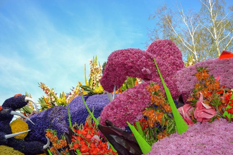 """Flower car with hyacinths at the flower parade (""""Bloemencorso"""") in the Netherlands Flower Car Bloemencorso Flower Bulb Hyacinth Flowers EyeEm Nature Lover EyeEmNewHere Plant Sky Growth Nature Flower Tree Low Angle View Flowering Plant Multi Colored Sunlight Cloud - Sky Built Structure Freshness No People"""