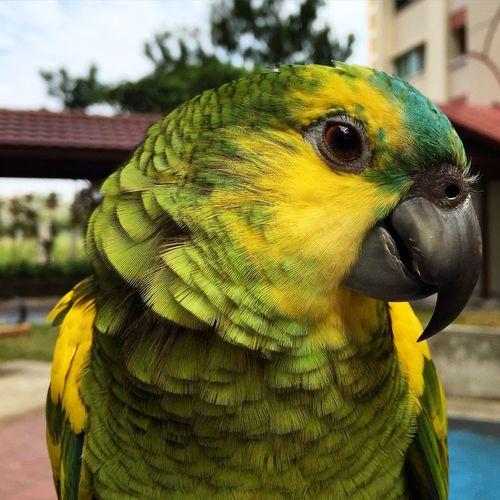 It's name is Buckle ? Blue Bluefrontedamazon Amazonparrot Cute Pets Pet Photography  Parrot Parrots Animals Birds Cute♡
