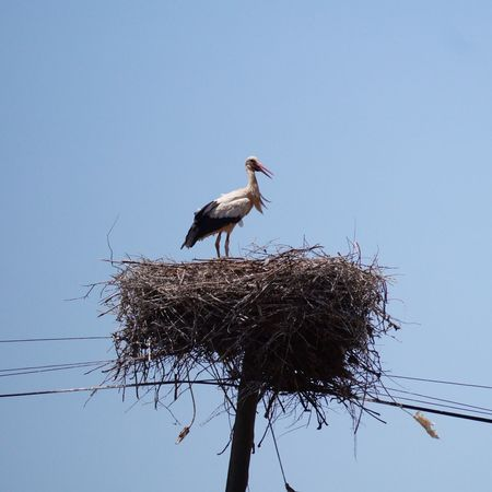 Bird Stork Animal Wildlife Animals In The Wild White Stork Perching Nesting Birds White Stork nesting near Monchique - Portugal