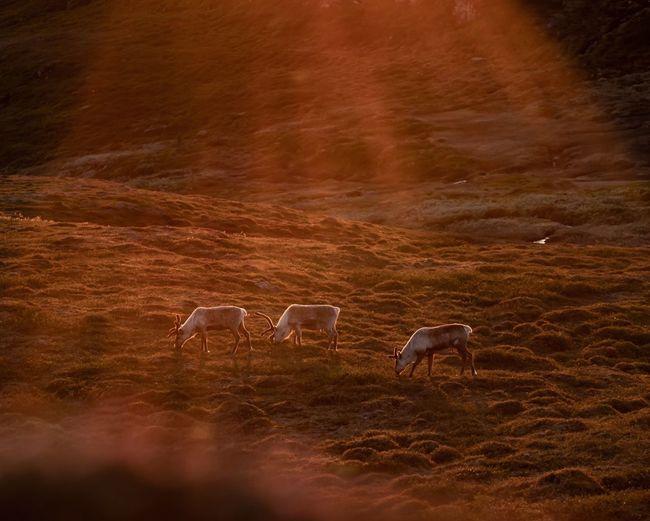 reindeer grazing in sun EyeEm Selects Orange Color Golden Reindeer Sunset Bird Mountain Grazing City Landscape Tundra Moose Hoofed Mammal Stag Reindeer Deer Cattle Herd Yukon Antler Horned Calf Fawn Antelope Bull - Animal Alaska - Us State Foraging American Bison African Elephant Farm Animal