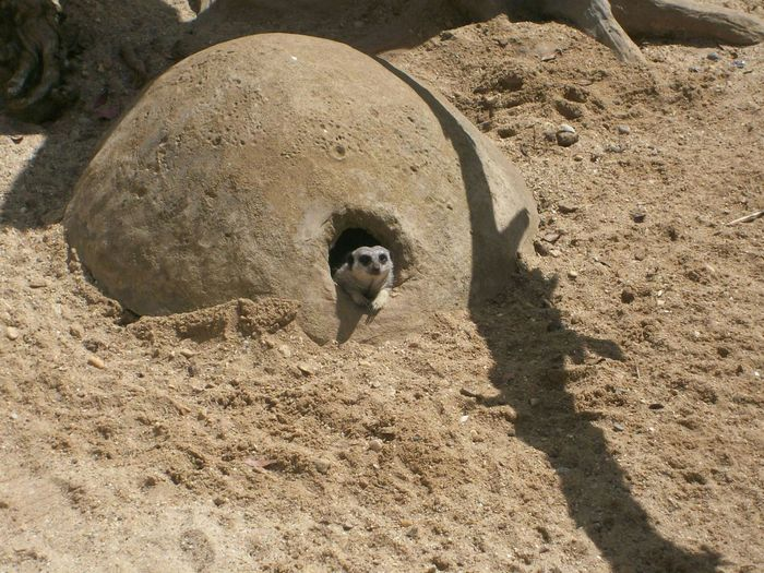 This little Meerkat stuch his head out of his burrow at the Isle Of Wight  Zoo and looks alomost as if he was simply looking out his window. Surprisingly funny.