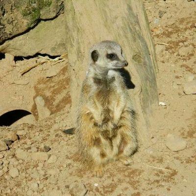Meercat  Belfast Zoo