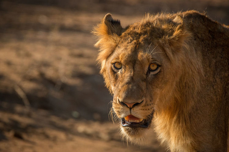 Staring at you Animals In The Wild Beautiful Lion Nature Nature Photography Travel Traveling Wildlife & Nature Wildlife Photography Africa Animal Wildlife Animals Beauty In Nature Lion - Feline Predator Safari Safari Animals Wild Wilderness Wildlife