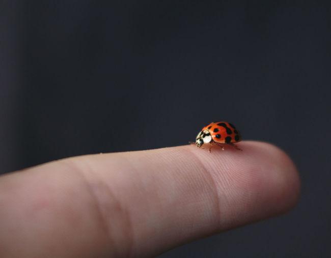 Ladybug Bug Ladybugs Fingers Hand Finger Macro