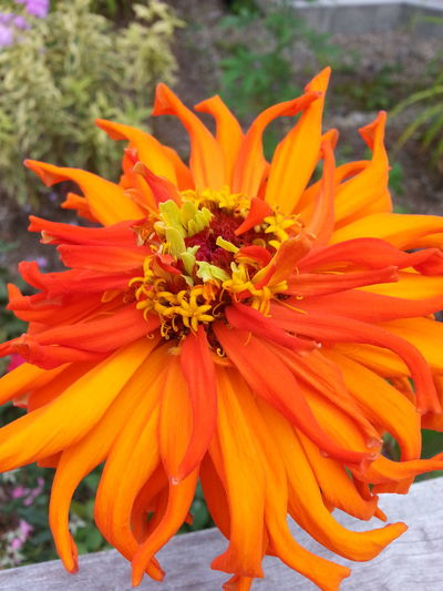 Freshness Growing Flower Nature Color Orange Orange Flower Zinnia  Zinnias Zinnia Detail Outdoors Full Frame Zinnias, Flowers Zinnias Structure Nature_collection Beautiful Nature Elegance Everywhere