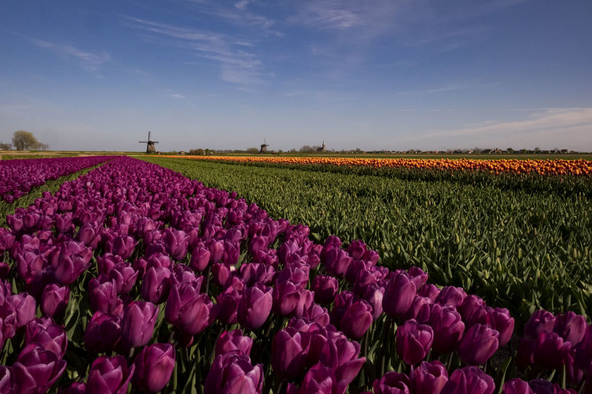 Amsterdam Beauty In Nature Field Fields And Sky Flevoland Fuscia Gold Green Holland Tulips Outdoors Allergies Colorful Nature Nature Is Art Fineart_photo Friesland Holland Tulips Spring Flowers Spring Tulips Tranquility Tulip Field Fine Art Photography Sheep🐑