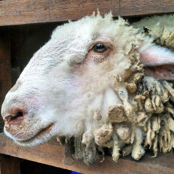 Sheep Sheep Sheeps Sheep🐑 Sheep Farm Sheep Ranch Sheepworld Sheep Wool Sheepfarm Sheeps. Sheepskin Sheep Grazing No People