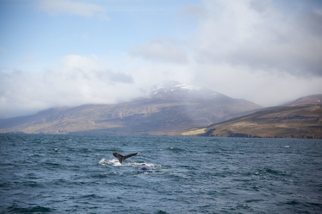 Humpback Whale Swimming In Sea Against Mountains