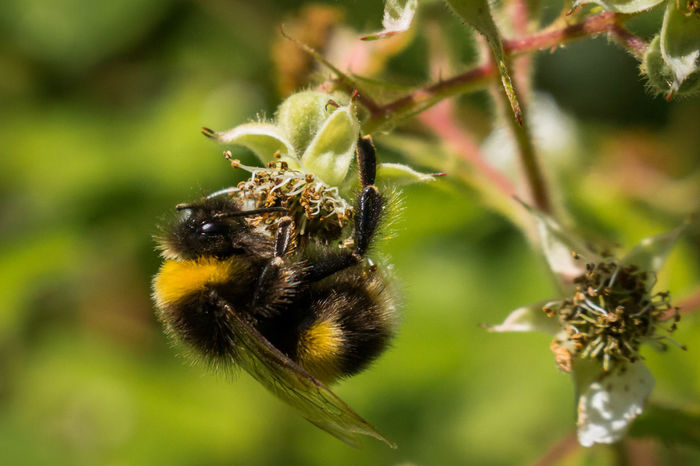 Bumblebee collectcing Bee Bumble Bee Collecting Pollen Bumblebee Busy Close-up Efficient Growth Hard Worker Insect Nature One Animal Pollenation