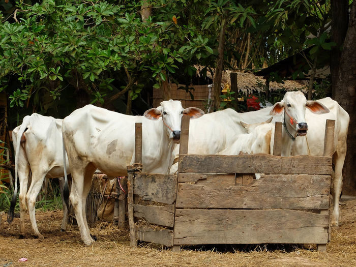Farming Cows Cattle majority each home must have. To help them in Paddy Field