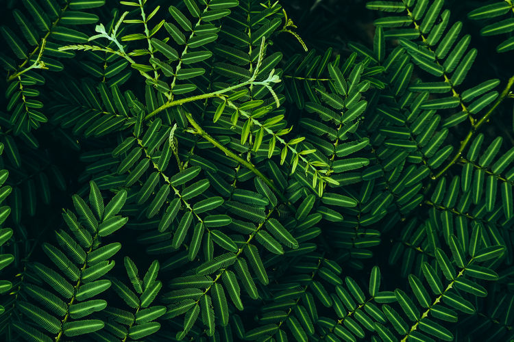 Tropical green leaves in dark tones Green Color Growth Leaf Plant Full Frame Plant Part Backgrounds Nature Beauty In Nature No People Day Close-up Fern Pattern Tranquility Outdoors High Angle View Tree Botany Sunlight Leaves Pine Tree Coniferous Tree